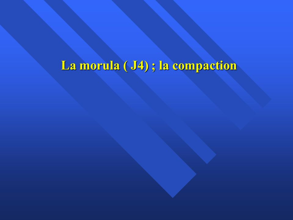 La morula ( J4) ; la compaction