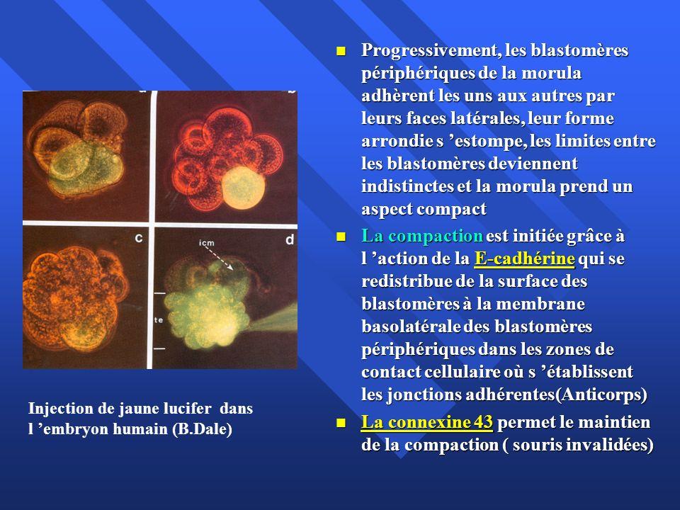 Progressivement, les blastomères périphériques de la morula adhèrent les uns aux autres par leurs faces latérales, leur forme arrondie s 'estompe, les limites entre les blastomères deviennent indistinctes et la morula prend un aspect compact