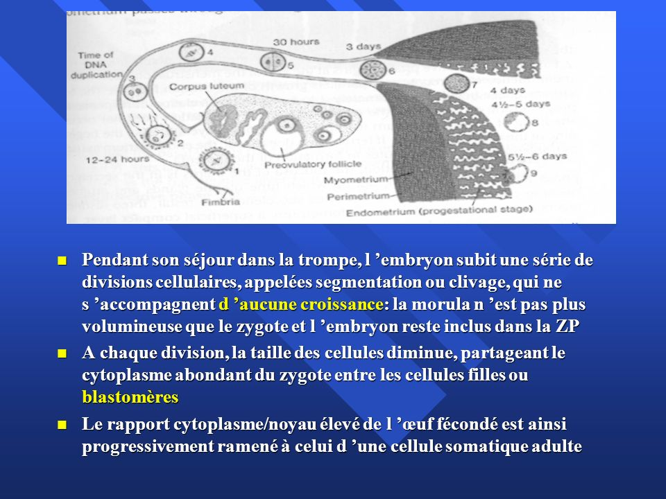 Pendant son séjour dans la trompe, l 'embryon subit une série de divisions cellulaires, appelées segmentation ou clivage, qui ne s 'accompagnent d 'aucune croissance: la morula n 'est pas plus volumineuse que le zygote et l 'embryon reste inclus dans la ZP