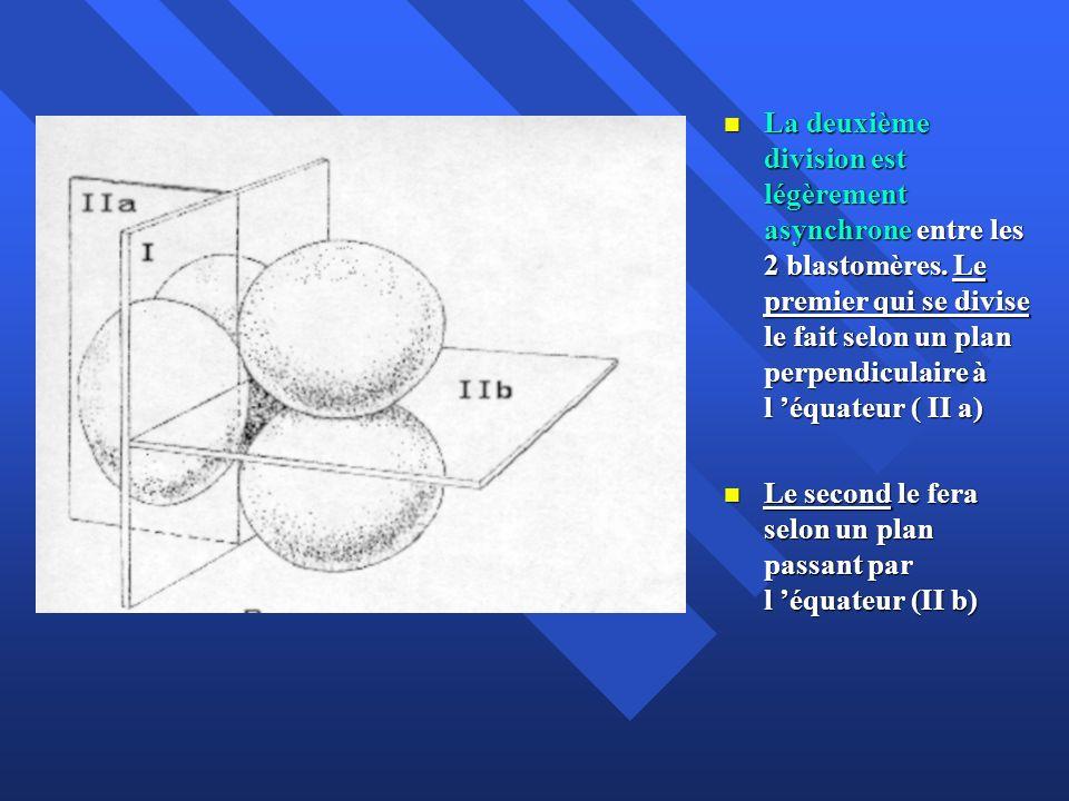 La deuxième division est légèrement asynchrone entre les 2 blastomères