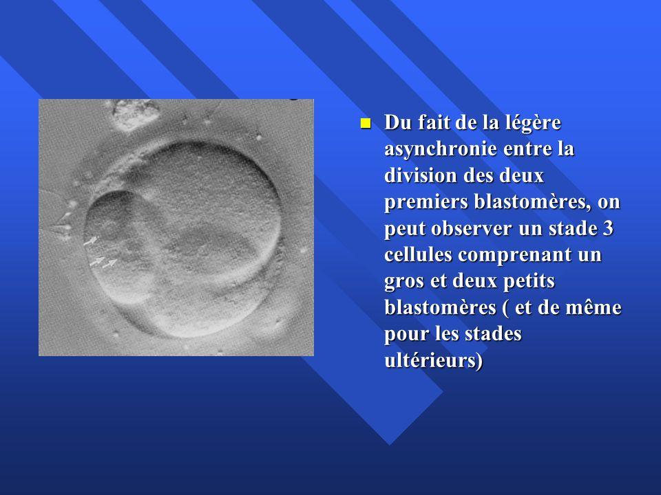 Du fait de la légère asynchronie entre la division des deux premiers blastomères, on peut observer un stade 3 cellules comprenant un gros et deux petits blastomères ( et de même pour les stades ultérieurs)