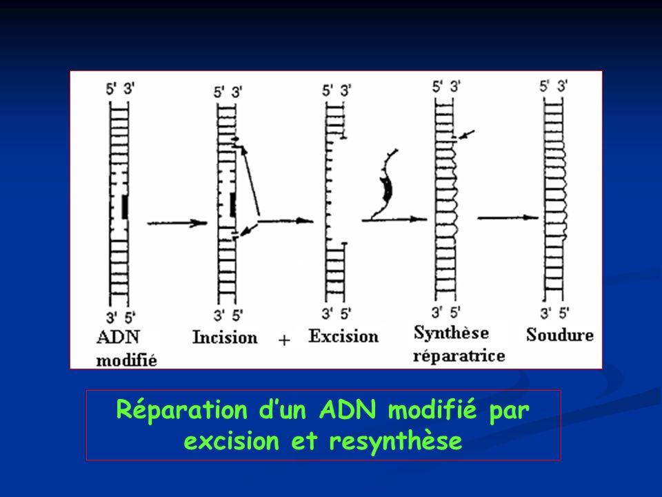 Réparation d'un ADN modifié par excision et resynthèse