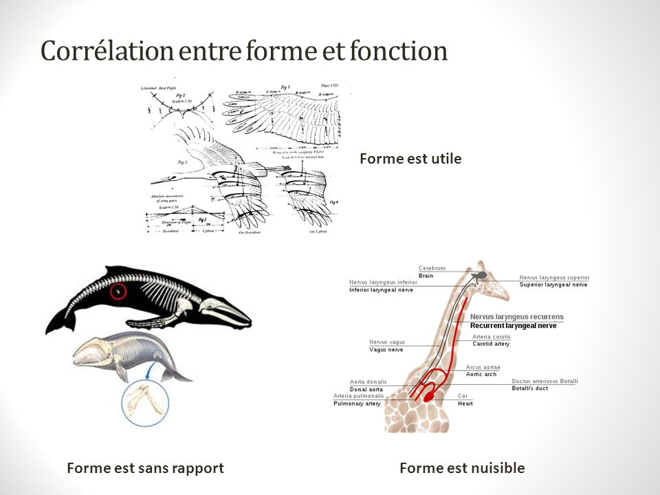 Corrélation entre forme et fonction
