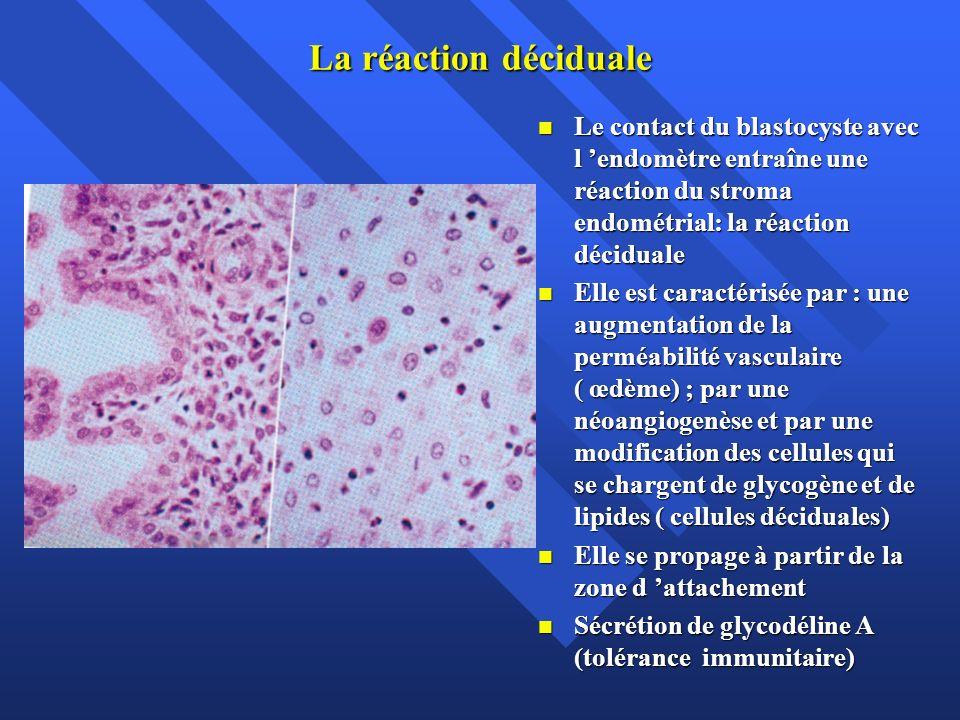 La réaction déciduale Le contact du blastocyste avec l 'endomètre entraîne une réaction du stroma endométrial: la réaction déciduale.