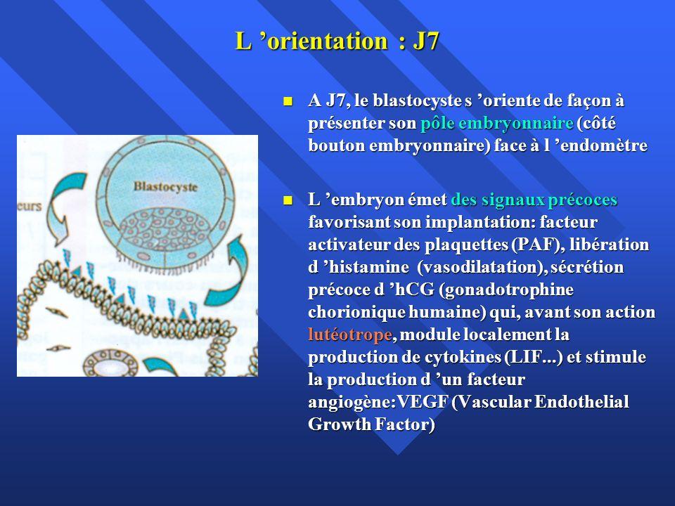 L 'orientation : J7 A J7, le blastocyste s 'oriente de façon à présenter son pôle embryonnaire (côté bouton embryonnaire) face à l 'endomètre.