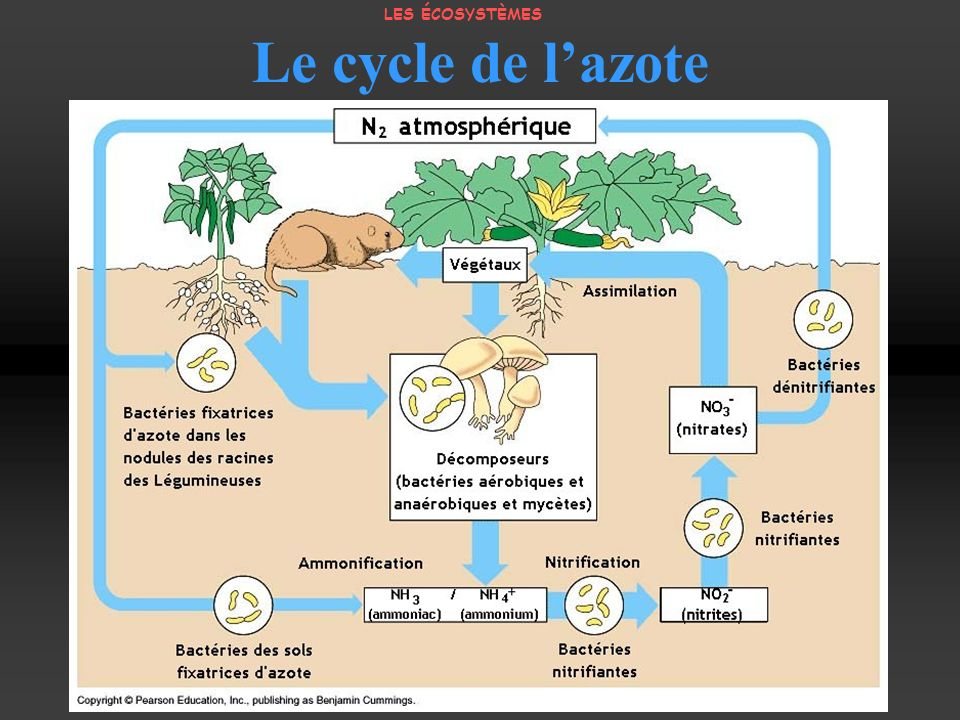 Le cycle de l'azote LES ÉCOSYSTÈMES