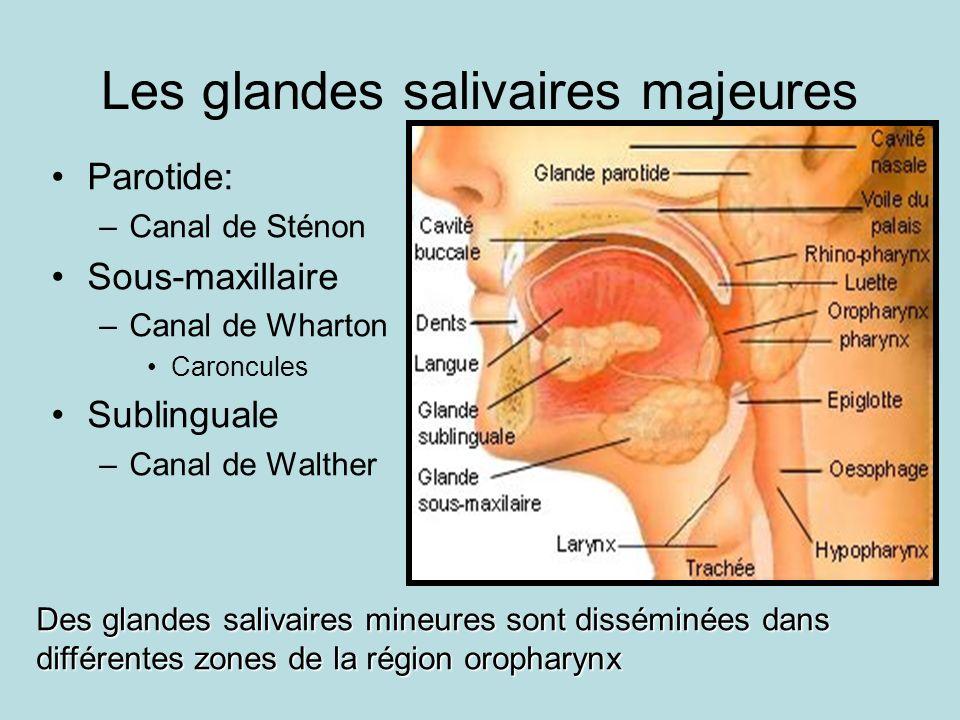 Les glandes salivaires majeures