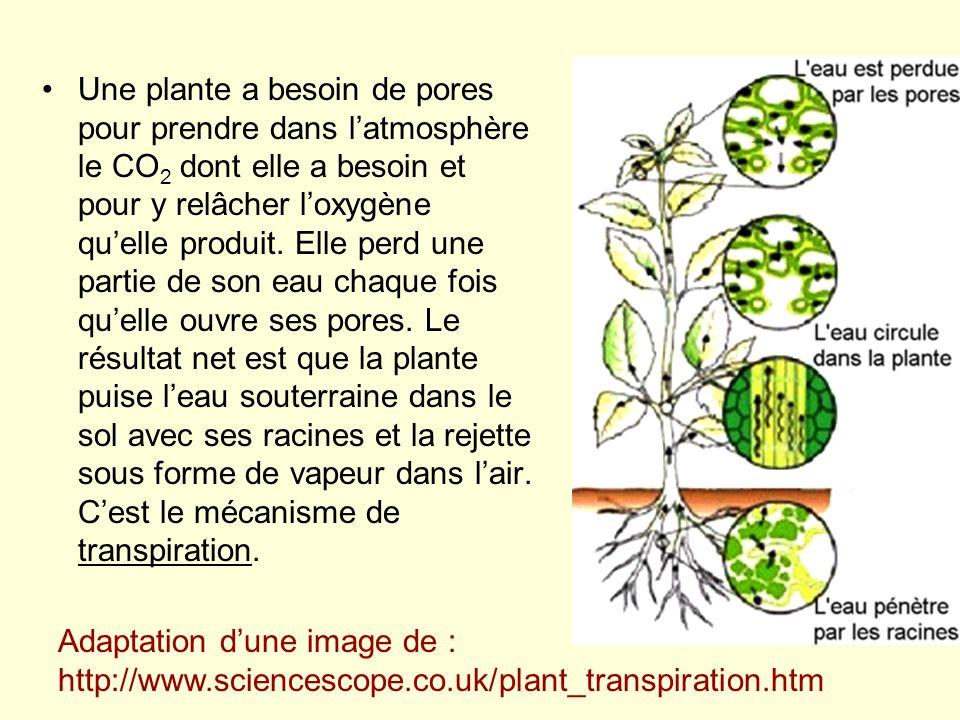 Une plante a besoin de pores pour prendre dans l'atmosphère le CO2 dont elle a besoin et pour y relâcher l'oxygène qu'elle produit. Elle perd une partie de son eau chaque fois qu'elle ouvre ses pores. Le résultat net est que la plante puise l'eau souterraine dans le sol avec ses racines et la rejette sous forme de vapeur dans l'air. C'est le mécanisme de transpiration.