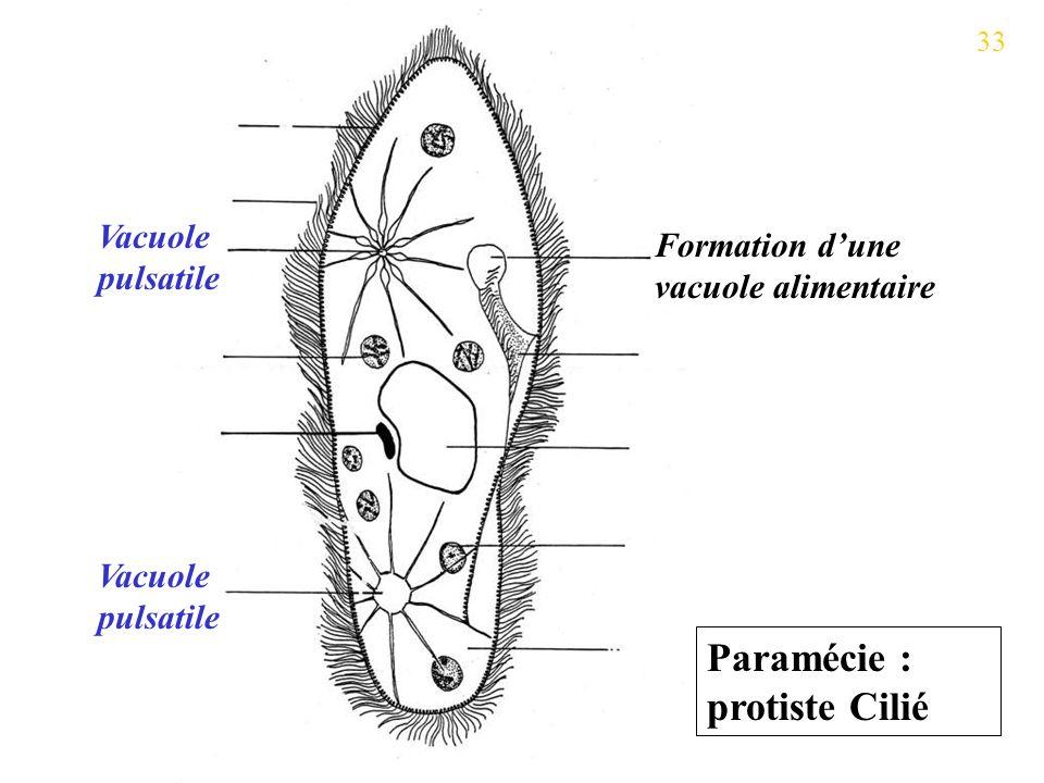 Paramécie : protiste Cilié