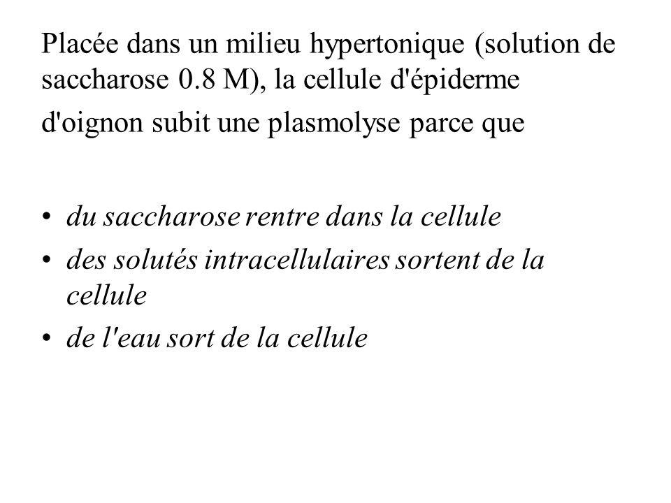 Placée dans un milieu hypertonique (solution de saccharose 0