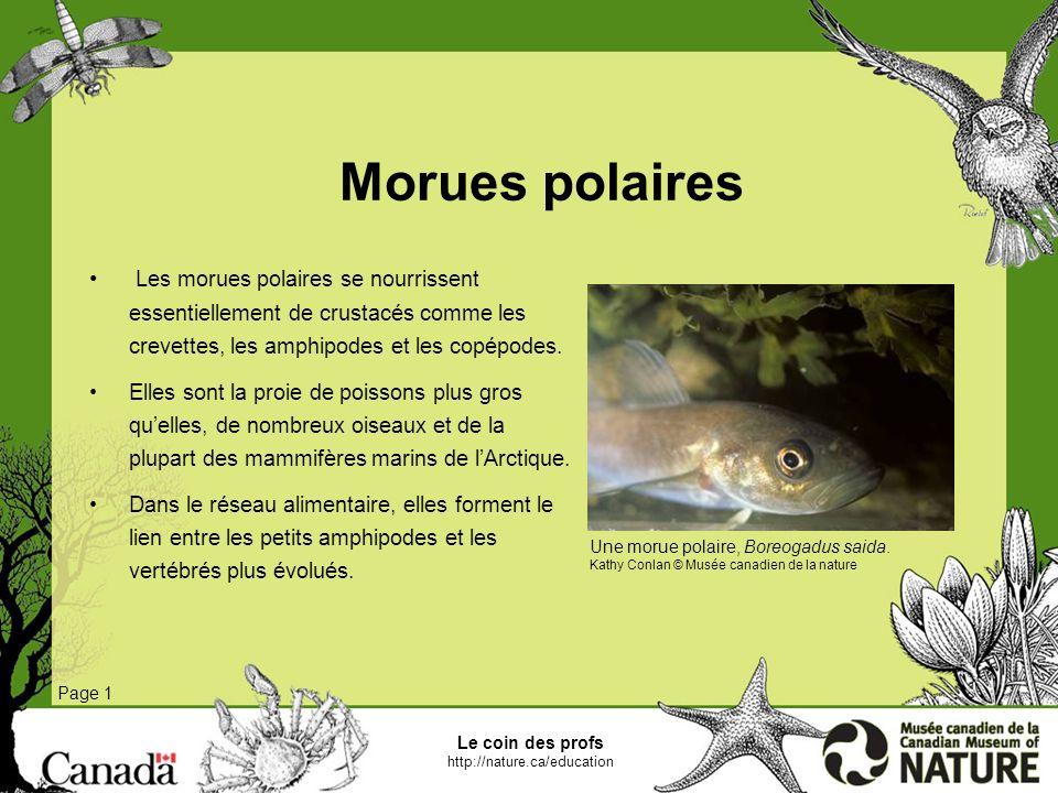 Morues polairesLes morues polaires se nourrissent essentiellement de crustacés comme les crevettes, les amphipodes et les copépodes.