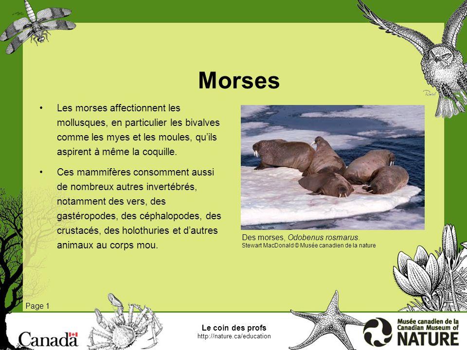 MorsesLes morses affectionnent les mollusques, en particulier les bivalves comme les myes et les moules, qu'ils aspirent à même la coquille.
