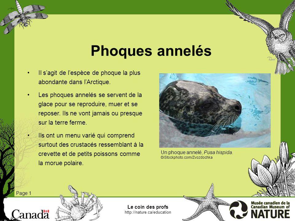 Phoques annelés Il s'agit de l'espèce de phoque la plus abondante dans l'Arctique.
