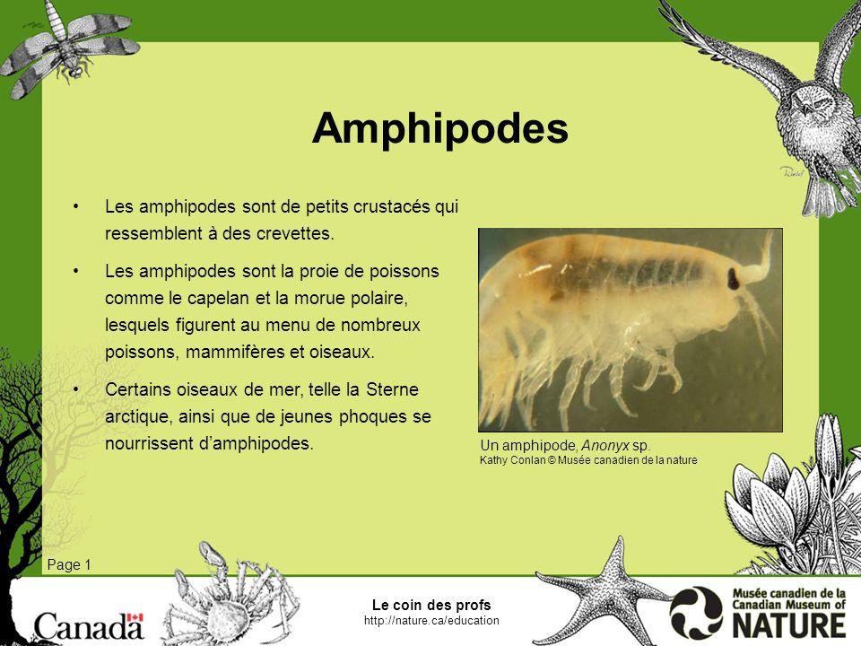Amphipodes Les amphipodes sont de petits crustacés qui ressemblent à des crevettes.