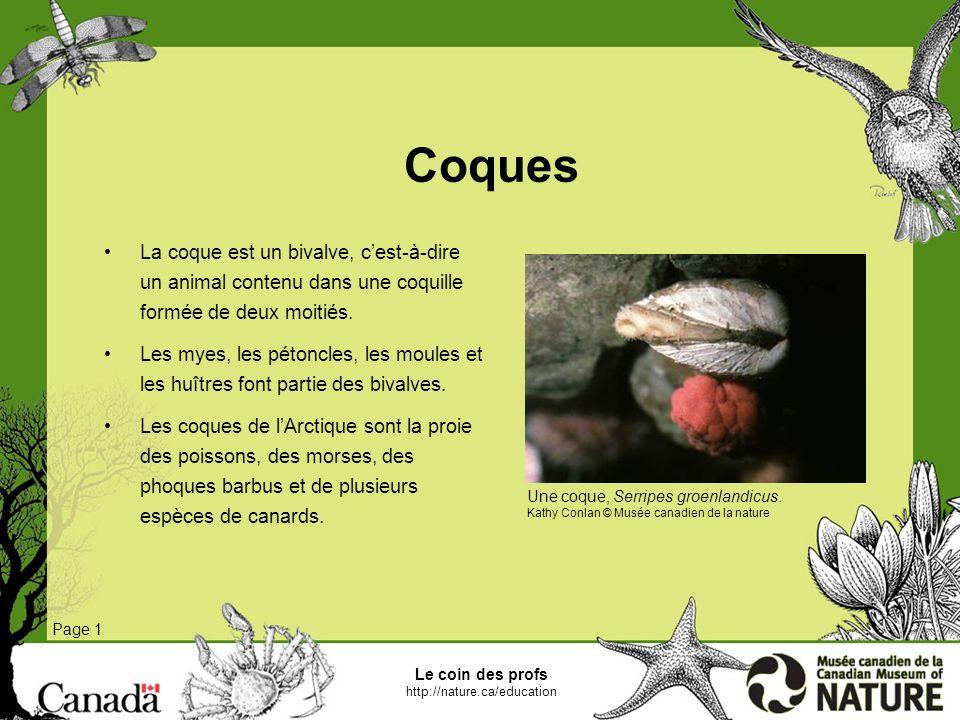 Coques La coque est un bivalve, c'est-à-dire un animal contenu dans une coquille formée de deux moitiés.