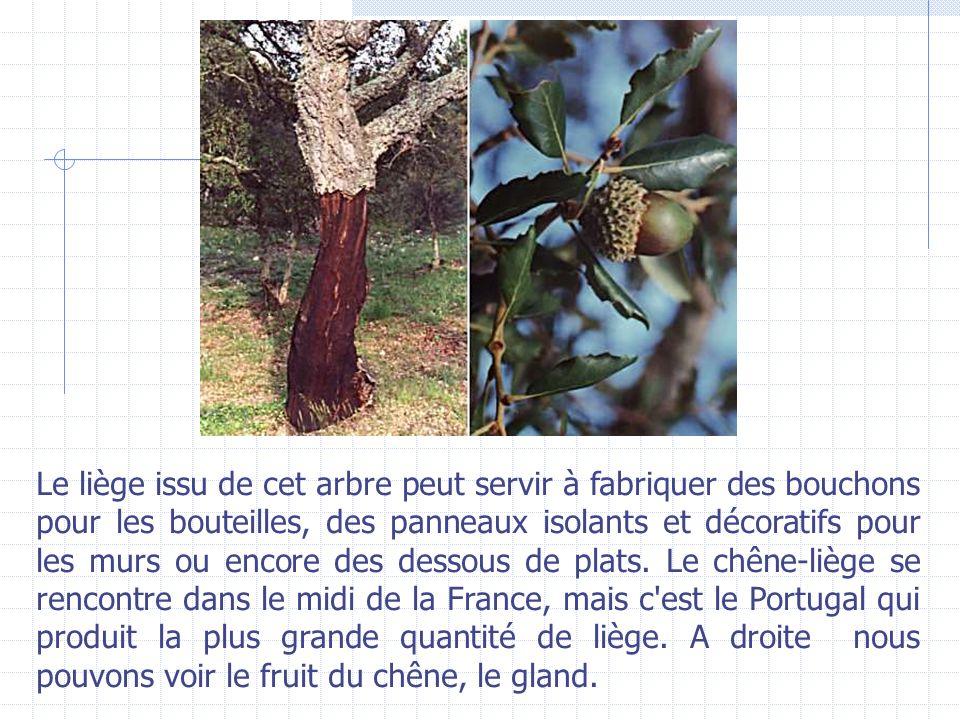 Le liège issu de cet arbre peut servir à fabriquer des bouchons pour les bouteilles, des panneaux isolants et décoratifs pour les murs ou encore des dessous de plats.