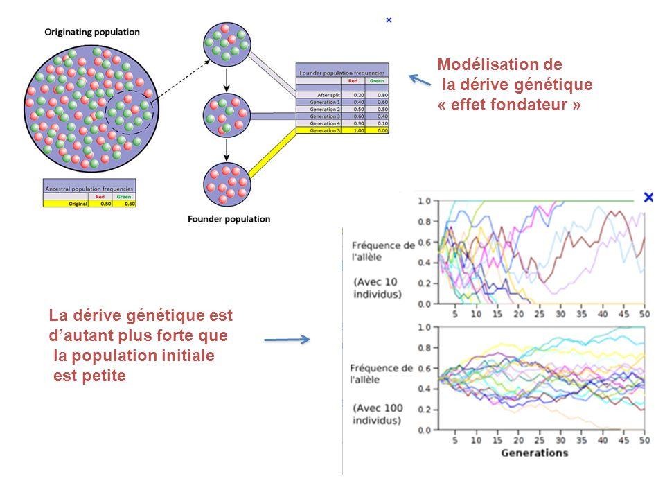 Modélisation de la dérive génétique. « effet fondateur » La dérive génétique est. d'autant plus forte que.