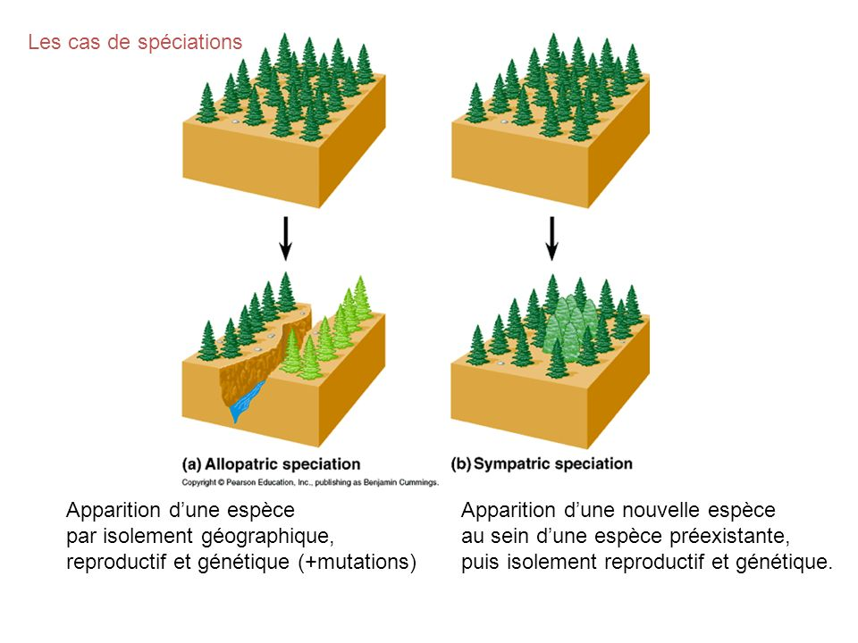 Les cas de spéciations Apparition d'une espèce. par isolement géographique, reproductif et génétique (+mutations)