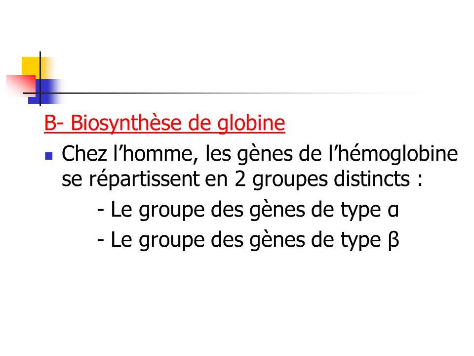 B- Biosynthèse de globine