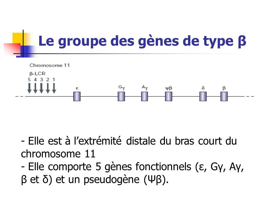 Le groupe des gènes de type β