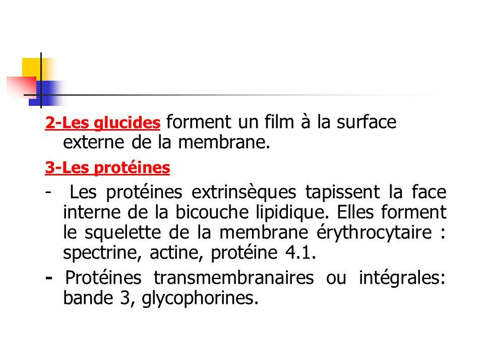 - Protéines transmembranaires ou intégrales: bande 3, glycophorines.