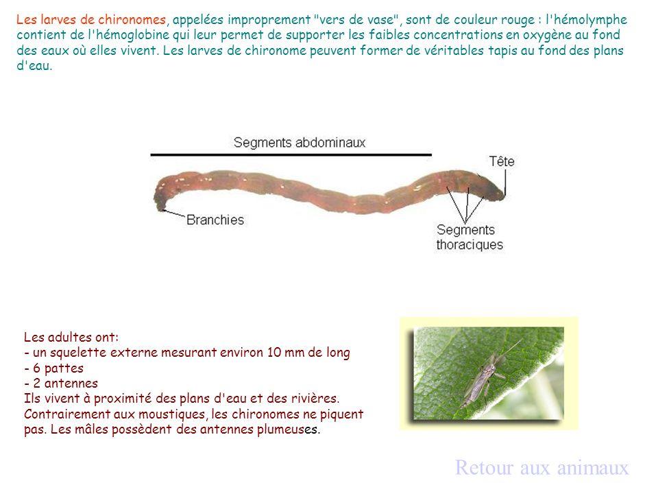 Les larves de chironomes, appelées improprement vers de vase , sont de couleur rouge : l hémolymphe contient de l hémoglobine qui leur permet de supporter les faibles concentrations en oxygène au fond des eaux où elles vivent. Les larves de chironome peuvent former de véritables tapis au fond des plans d eau.