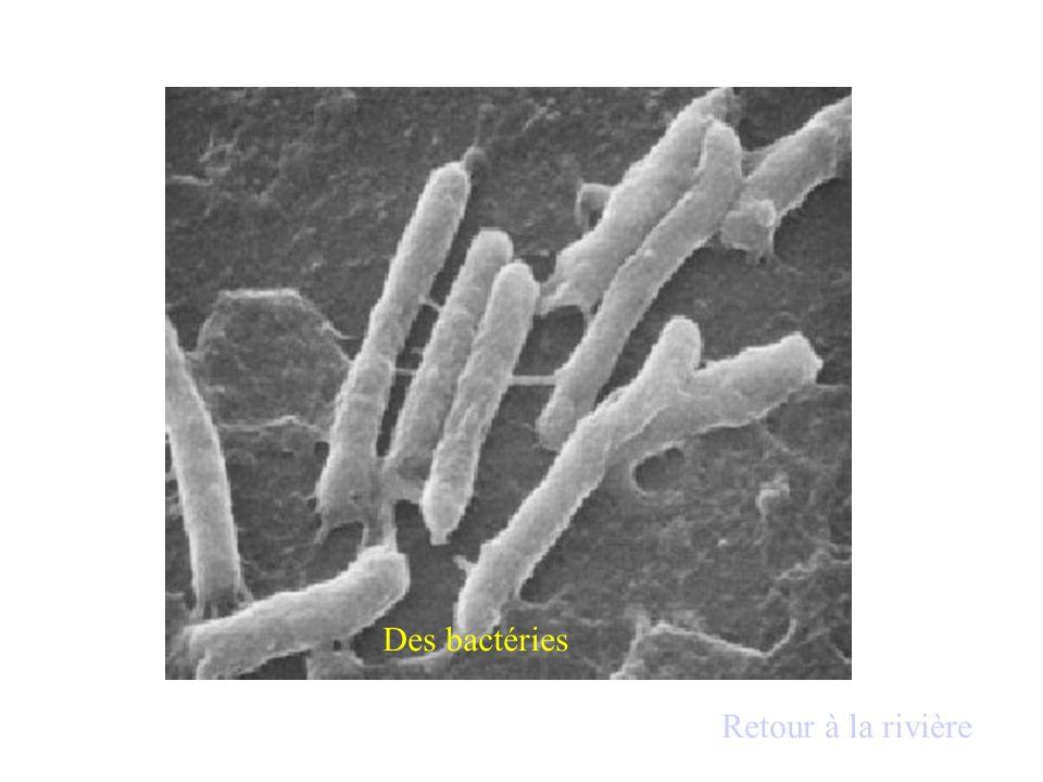 Des bactéries Retour à la rivière