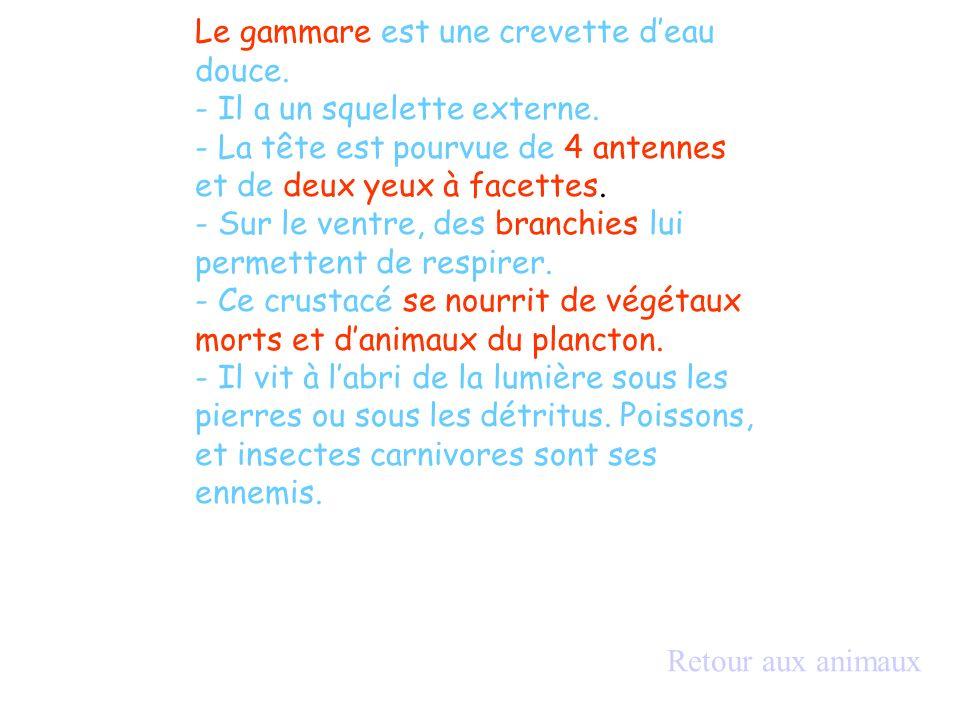 Le gammare est une crevette d'eau douce.