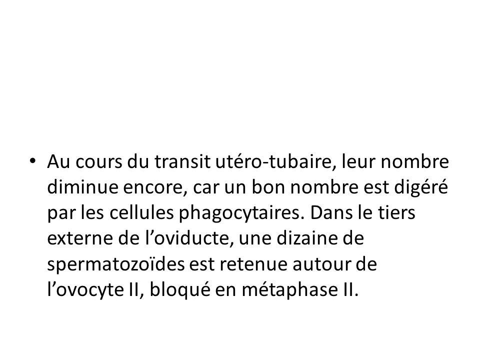 Au cours du transit utéro-tubaire, leur nombre diminue encore, car un bon nombre est digéré par les cellules phagocytaires.