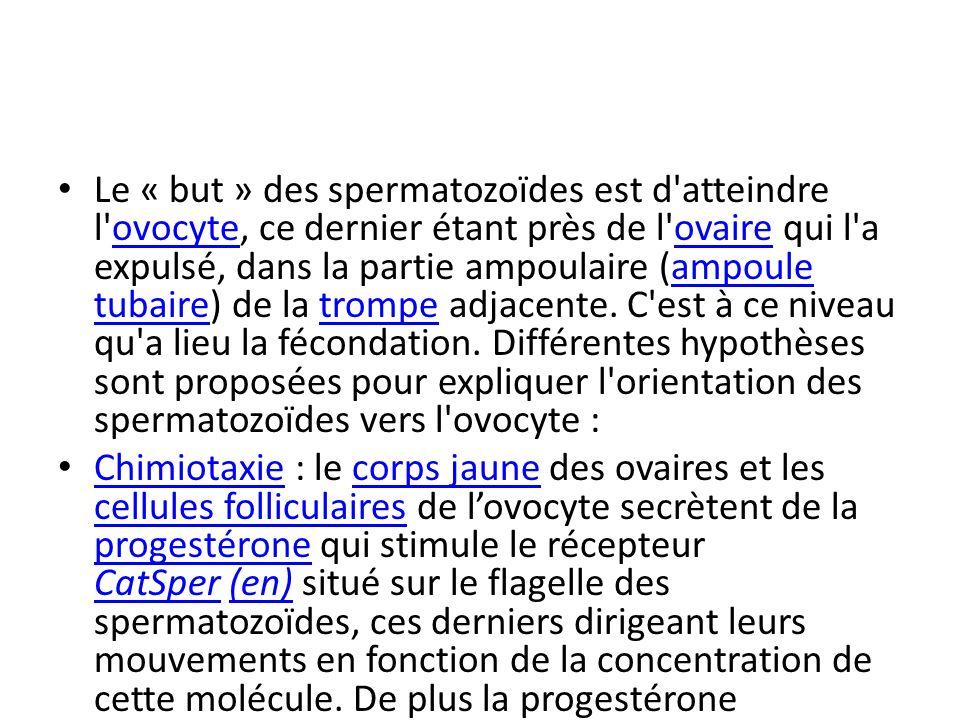 Le « but » des spermatozoïdes est d atteindre l ovocyte, ce dernier étant près de l ovaire qui l a expulsé, dans la partie ampoulaire (ampoule tubaire) de la trompe adjacente. C est à ce niveau qu a lieu la fécondation. Différentes hypothèses sont proposées pour expliquer l orientation des spermatozoïdes vers l ovocyte :