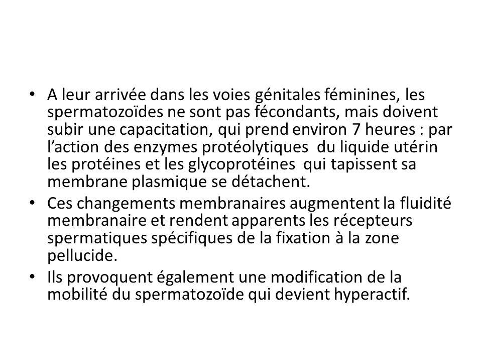 A leur arrivée dans les voies génitales féminines, les spermatozoïdes ne sont pas fécondants, mais doivent subir une capacitation, qui prend environ 7 heures : par l'action des enzymes protéolytiques du liquide utérin les protéines et les glycoprotéines qui tapissent sa membrane plasmique se détachent.