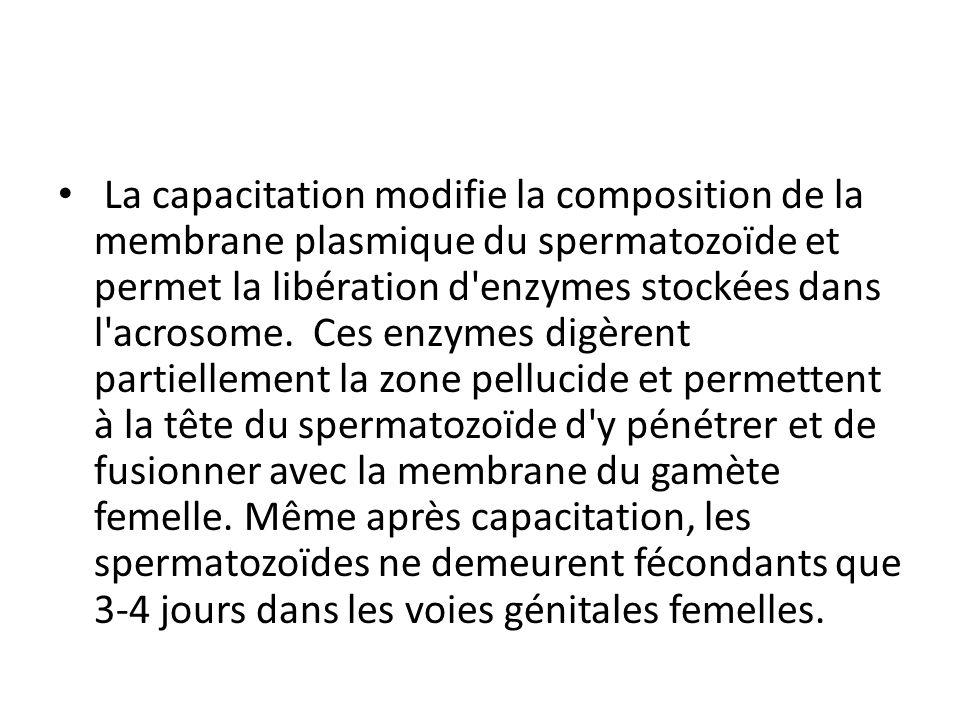 La capacitation modifie la composition de la membrane plasmique du spermatozoïde et permet la libération d enzymes stockées dans l acrosome. Ces enzymes digèrent partiellement la zone pellucide et permettent à la tête du spermatozoïde d y pénétrer et de fusionner avec la membrane du gamète femelle.