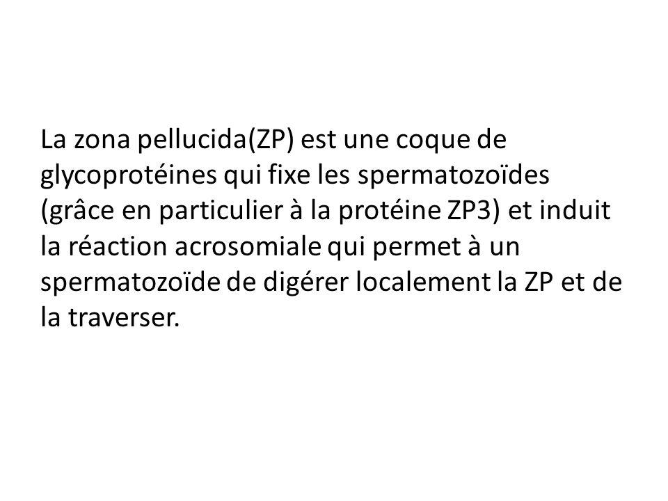 La zona pellucida(ZP) est une coque de glycoprotéines qui fixe les spermatozoïdes (grâce en particulier à la protéine ZP3) et induit la réaction acrosomiale qui permet à un spermatozoïde de digérer localement la ZP et de la traverser.