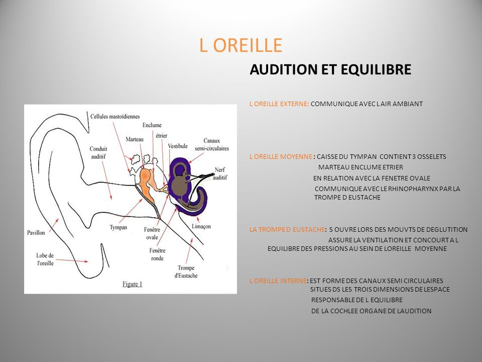 L OREILLE AUDITION ET EQUILIBRE