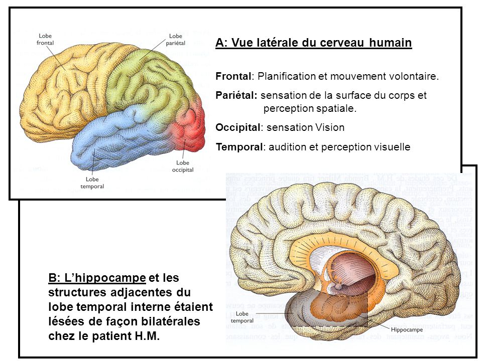 A: Vue latérale du cerveau humain