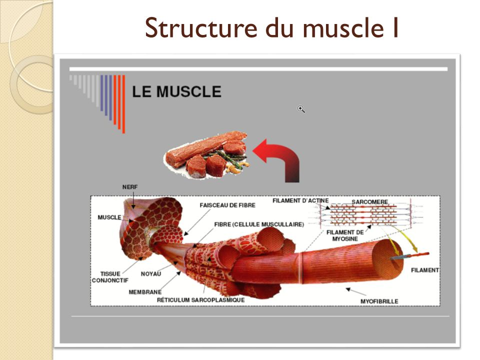 Structure du muscle I