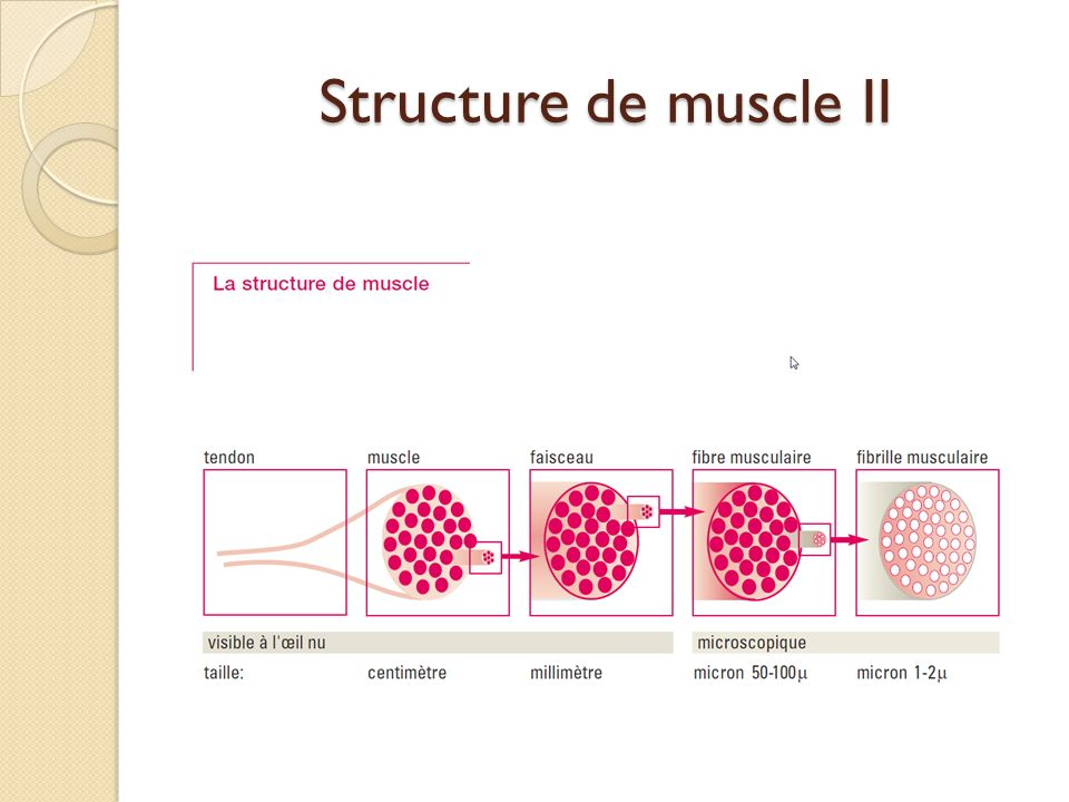 Structure de muscle II