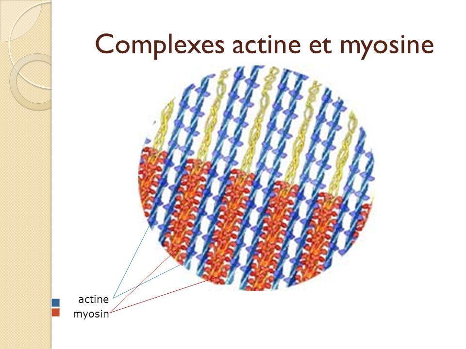 Complexes actine et myosine