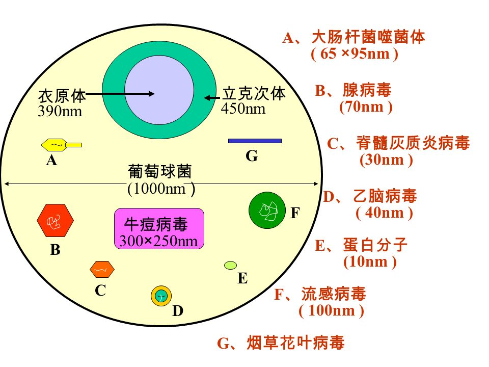 A、大肠杆菌噬菌体 ( 65 ×95nm ) B、腺病毒. (70nm ) 衣原体. 390nm. 立克次体. 450nm. C、脊髓灰质炎病毒. (30nm ) G. A. 葡萄球菌.