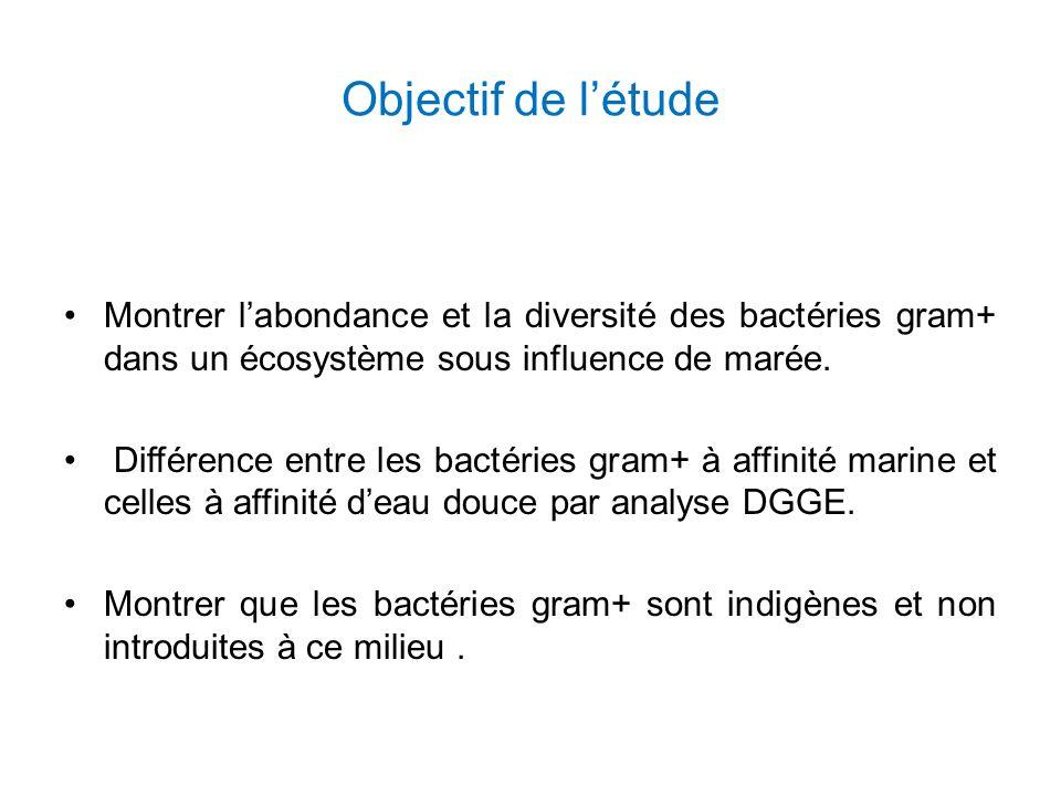 Objectif de l'étude Montrer l'abondance et la diversité des bactéries gram+ dans un écosystème sous influence de marée.