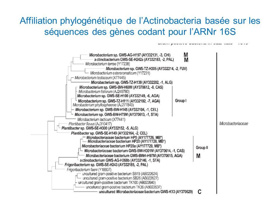 Affiliation phylogénétique de l'Actinobacteria basée sur les séquences des gènes codant pour l'ARNr 16S