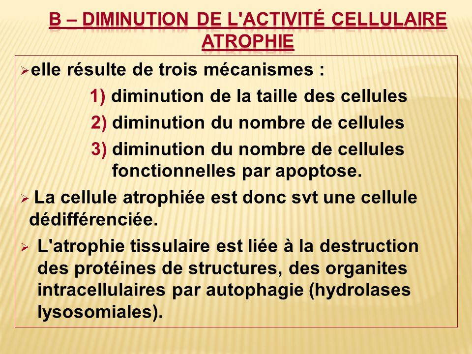 B – Diminution de l activité cellulaire atrophie