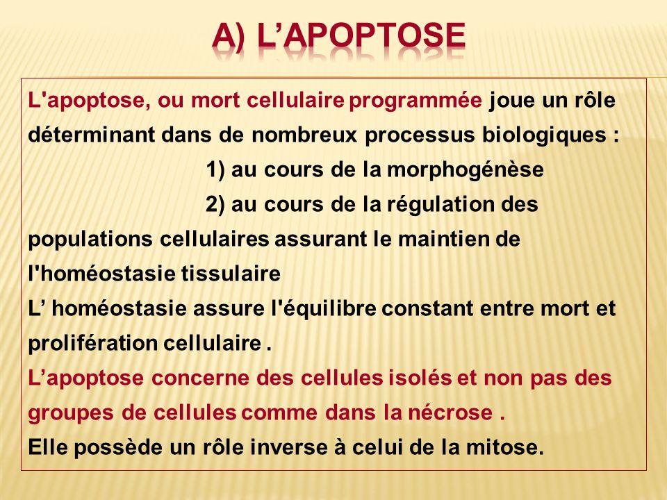 a) L'APOPTOSE L apoptose, ou mort cellulaire programmée joue un rôle déterminant dans de nombreux processus biologiques :