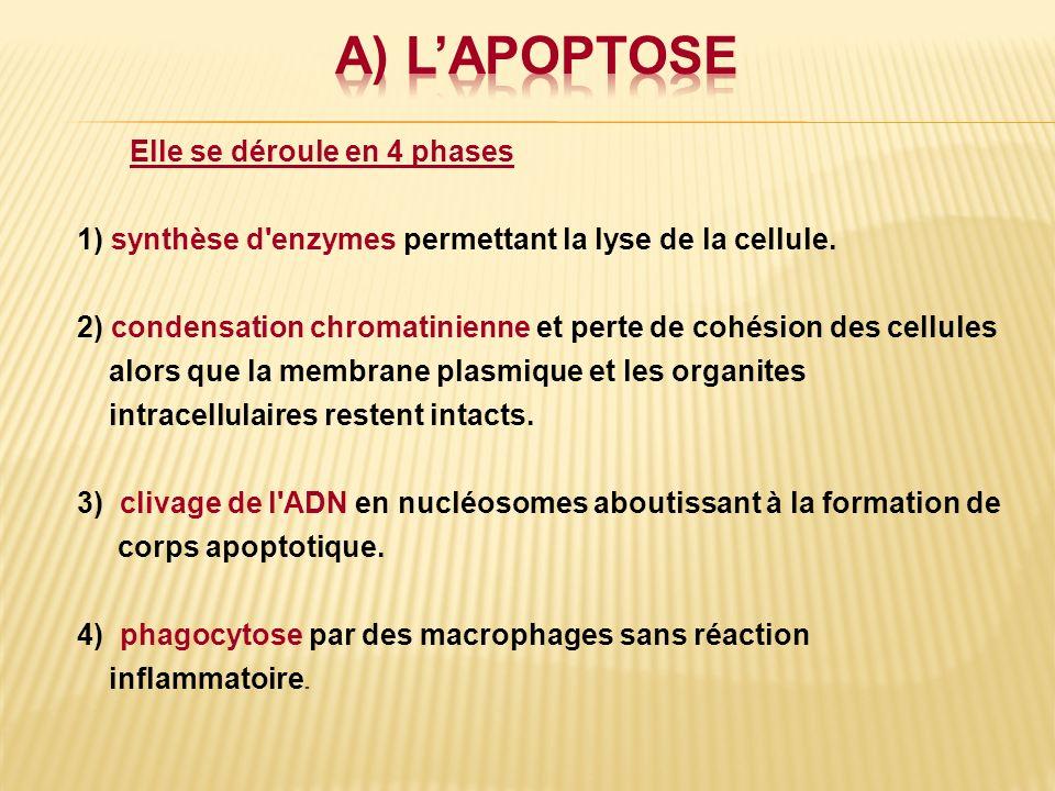 a) L'APOPTOSE Elle se déroule en 4 phases