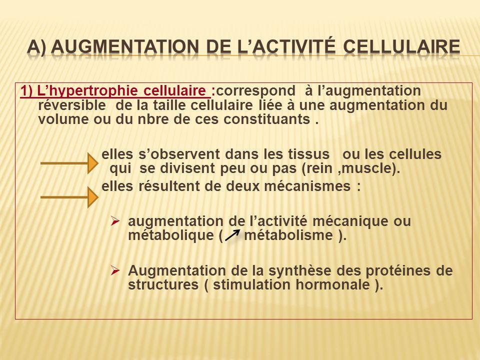 A) Augmentation de l'activité cellulaire