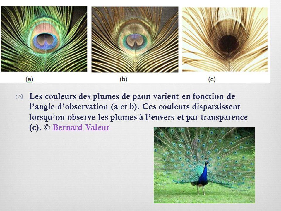 Les couleurs des plumes de paon varient en fonction de l'angle d'observation (a et b).