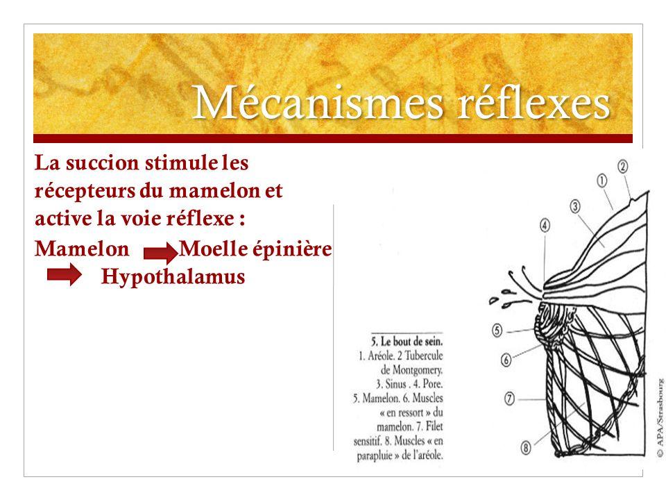Mécanismes réflexes La succion stimule les récepteurs du mamelon et active la voie réflexe :