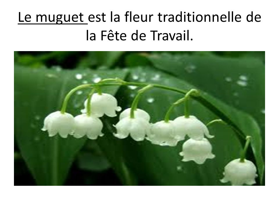 Le muguet est la fleur traditionnelle de la Fête de Travail.