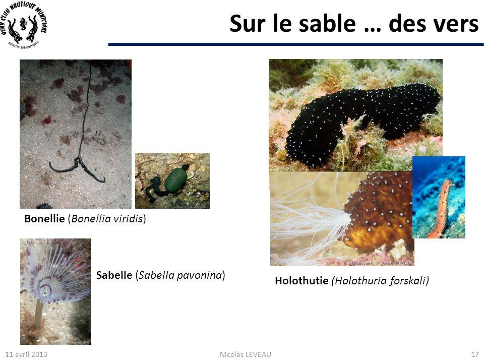 Sur le sable … des vers Bonellie (Bonellia viridis)