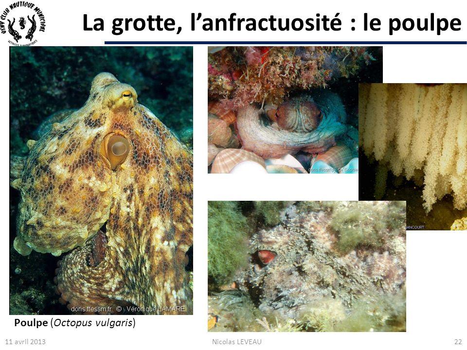 La grotte, l'anfractuosité : le poulpe